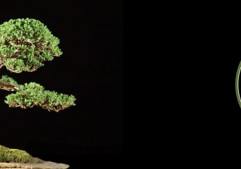Norfolk Bonsai Association